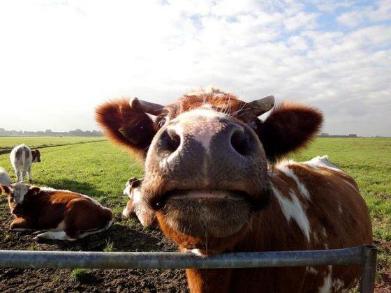 Kabinet subsidieert ideeën voor duurzame stallen