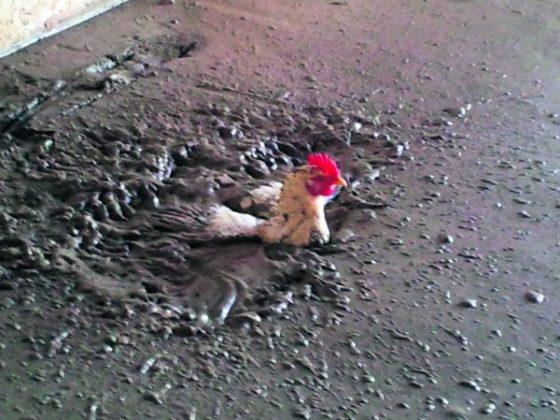 Stortploeg Lont redt kip uit vers beton