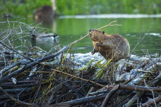 Maaiveld | Beaver-deceiver stelt waterafvoer veilig
